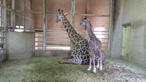 【熊本動植物園】29年2月25日に一部再開&赤ちゃんキリン