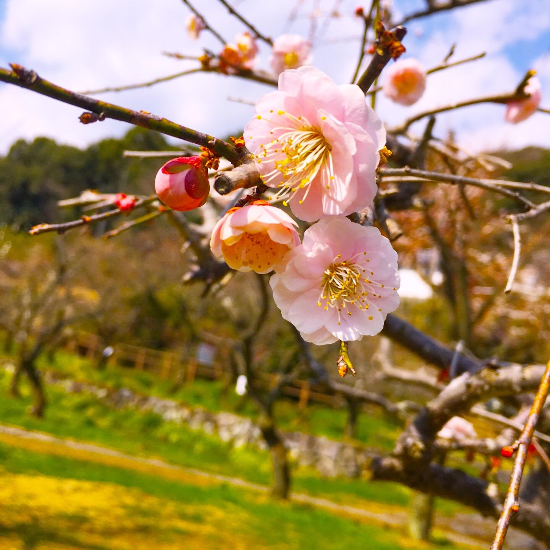 【谷尾崎梅林公園】梅の花と、宮本武蔵の座禅石を見てきた