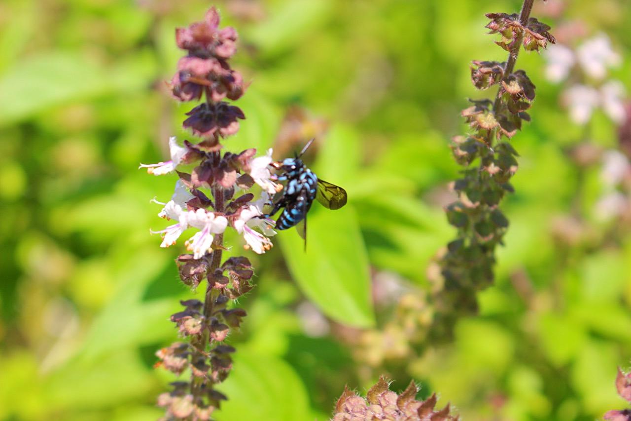 【ブルービー】熊本県阿蘇!幸せを呼ぶ青い蜂を見つけたよ。