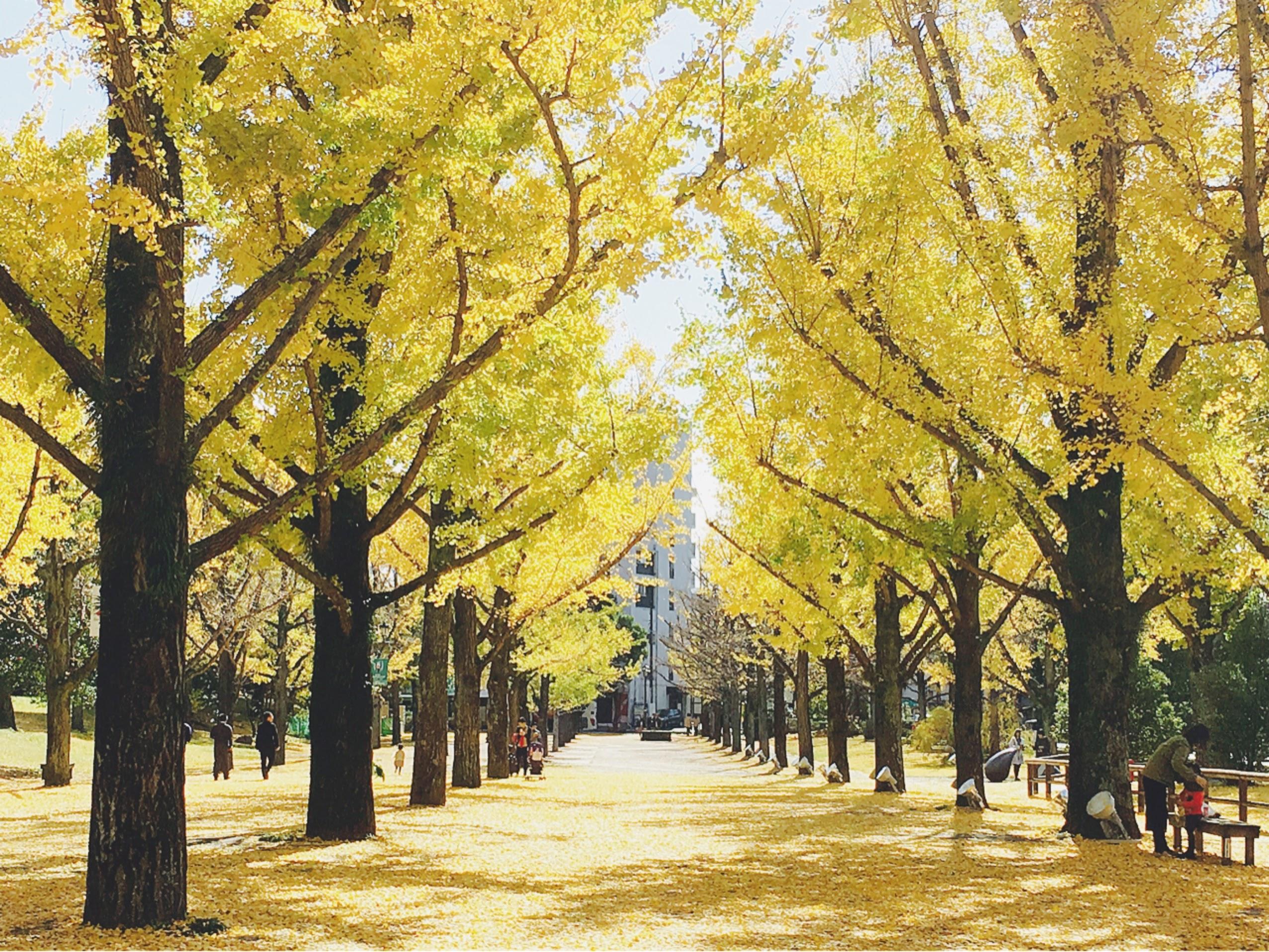 【熊本県庁】イチョウ並木のライトアップが見ごろです!【11/30まで】