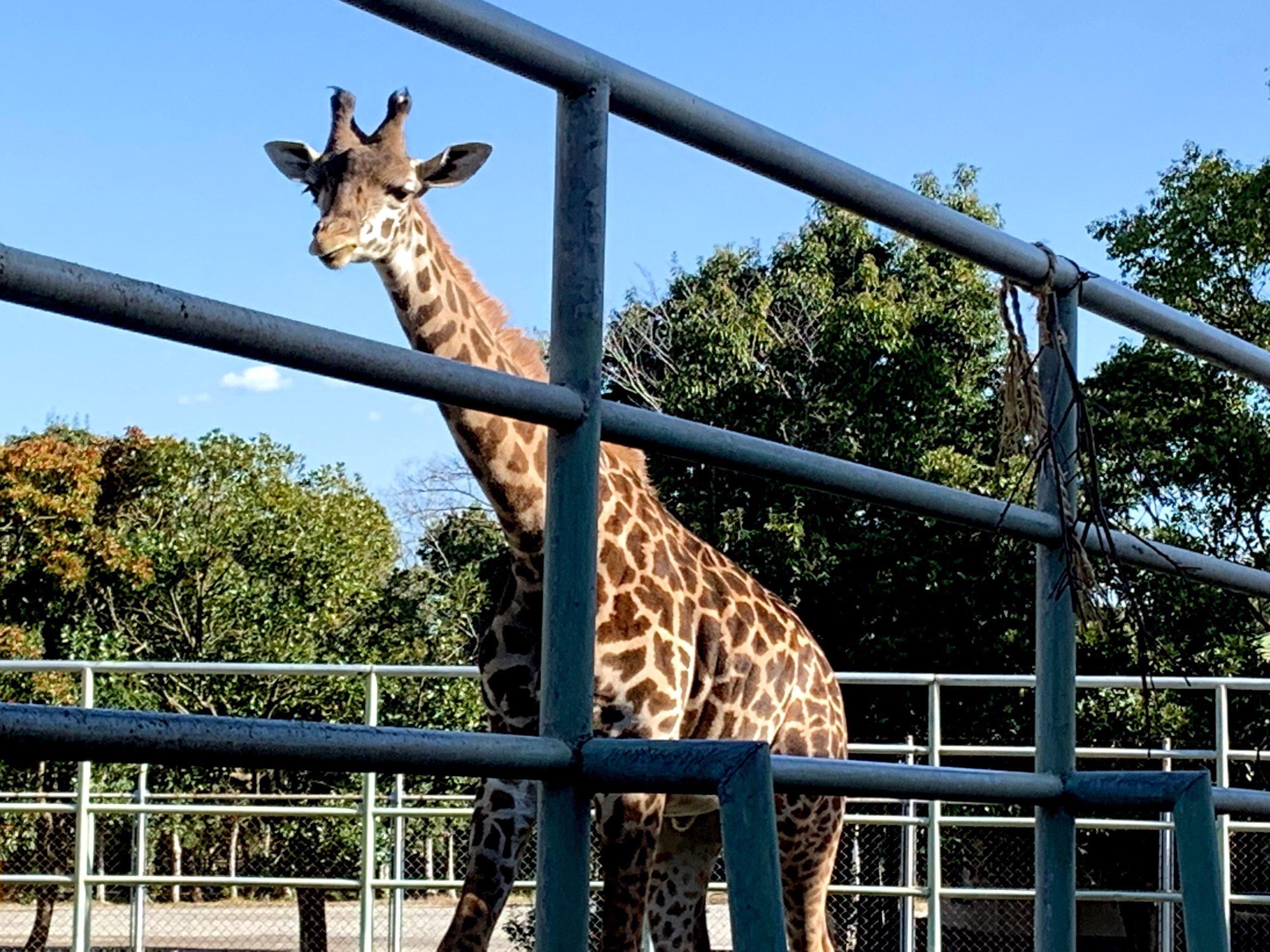 【熊本動植物園】ライオンたちも戻ってきたよ!祝全面再開!