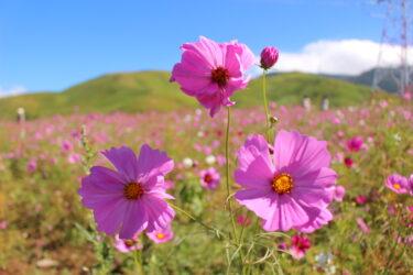【萌の里】西原村のコスモス園は秋が見頃!100万本のコスモスが、まるで絨毯のようだった